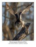 Northern Hawk-Owl-129