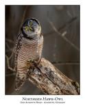 Northern Hawk-Owl-130