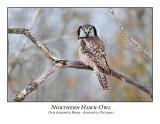 Northern Hawk-Owls