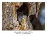 Eastern Screech Owl-012