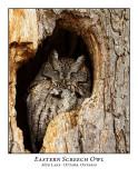 Eastern Screech Owl-013