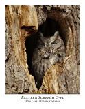 Eastern Screech Owl-014