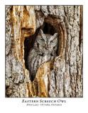 Eastern Screech Owl-015
