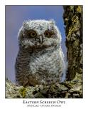 Eastern Screech Owl-016