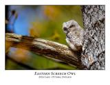 Eastern Screech Owl-017