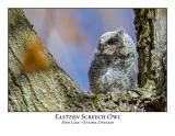 Eastern Screech Owl-018