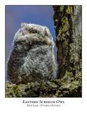 Eastern Screech Owl-019