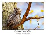 Eastern Screech Owl-020