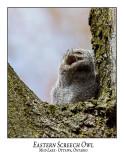 Eastern Screech Owl-021