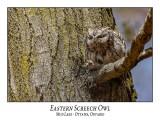 Eastern Screech Owl-022