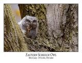 Eastern Screech Owl-023