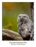 Eastern Screech Owl-024