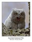 Eastern Screech Owl-026