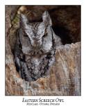 Eastern Screech Owl-027