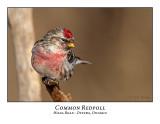 Common & Hoary Redpolls
