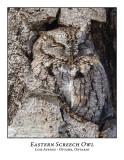 Eastern Screech Owl-028