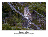Barred Owl-038