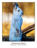 Snowshoe Hares