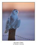 Snowy Owl-124