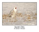 Snowy Owl-125