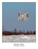 Snowy Owl-126