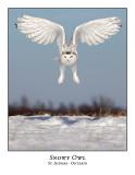 Snowy Owl-127