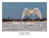 Snowy Owl-128