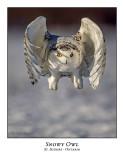 Snowy Owl-130