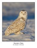 Snowy Owl-131