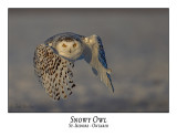 Snowy Owl-132