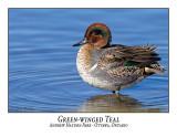 Ducks / Geese / Swans