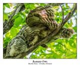 Barred Owl-039