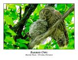 Barred Owl-040