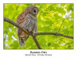 Barred Owl-041