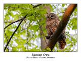 Barred Owl-042