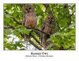 Barred Owl-043
