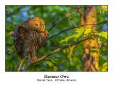 Barred Owl-044