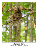 Barred Owl-046