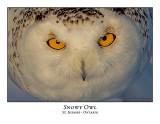 Snowy Owl-133