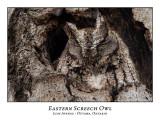 Eastern Screech Owl-029