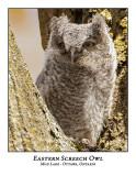 Eastern Screech Owl-030