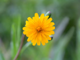 Two-Flowered Cynthia