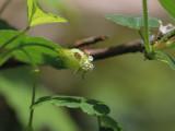 Prickly Gooseberry