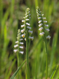 Wide-leaved Ladies'-tresses Orchid