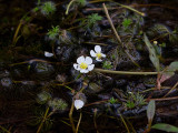 White Water Buttercup
