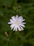 Chicory -- White Form