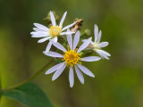 Large-leaved Aster