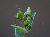 Great St. Johnswort Fruit