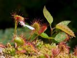 Sundew Eats Moth