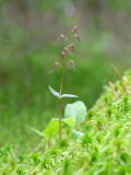 Southern Twayblade Orchid